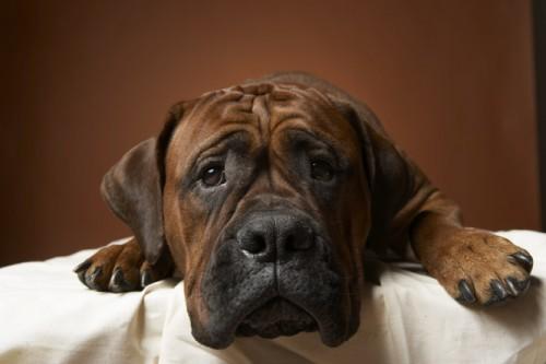 leishmaniasis dog